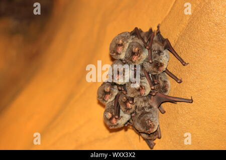 Schreibers' Long-fingered Bat (Miniopterus schreibersi) in cave, Isere, France - Stock Photo