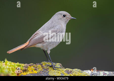 Black Redstart (Phoenicurus ochruros gibraltariensis), side view of an individual perched on a piece of a bark, Campania, Italy - Stock Photo
