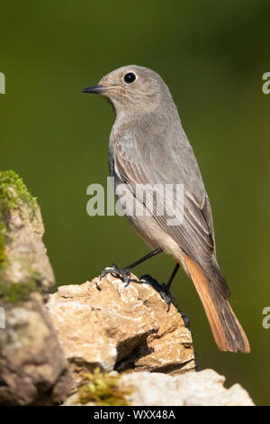 Black Redstart (Phoenicurus ochruros gibraltariensis), individual perched on a rock, Campania, Italy - Stock Photo