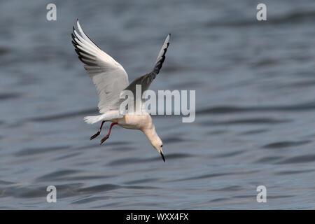 Slender-billed Gull (Chroicocephalus genei) Adult in breeding plumage chasing in flight small gobies in a lagoon, Ebro Delta, Spain - Stock Photo