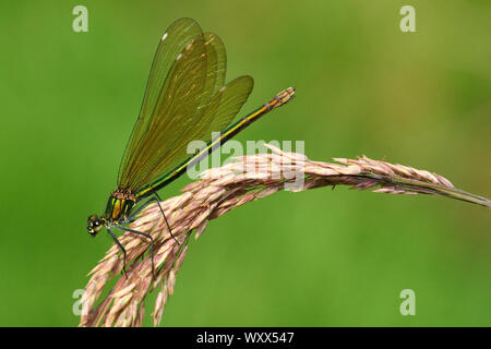 Beautiful demoiselle (Calopteryx virgo) female on the lookout over a clear stream, Creuse, France - Stock Photo