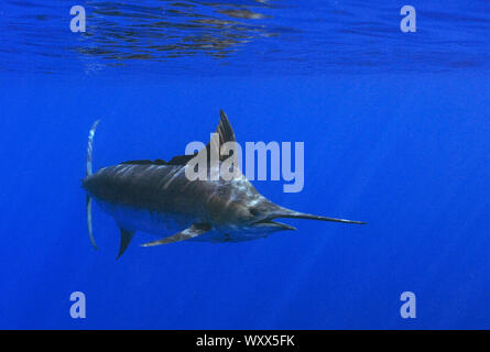 Atlantic blue marlin (Makaira nigricans). Tenerife, Canary Islands. - Stock Photo
