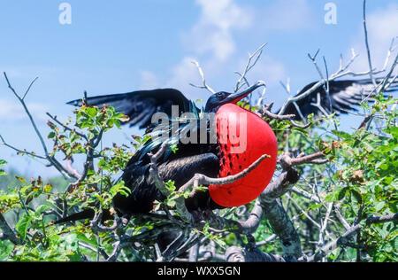 Great Frigatebird (Fregata minor ridgwayi) male, Galapagos - Stock Photo