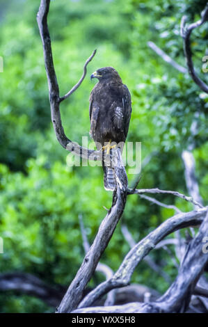 Galapagos Hawk (Buteo galapagoensis) on a branch, Galapagos - Stock Photo