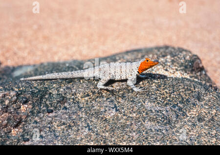 Galapagos Lava Lizard (Microlophus albemarlensis) on rock, Galapagos - Stock Photo