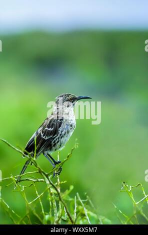 Genovesa mockingbird (Mimus parvulus bauri), Genovesa, Galapagos - Stock Photo