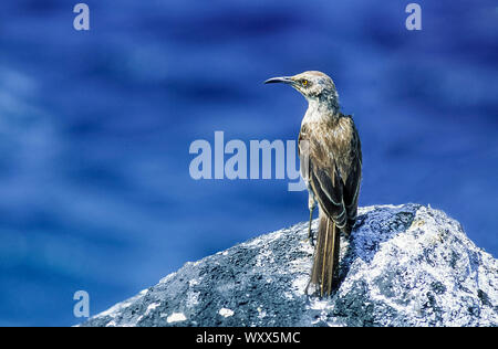 Hood Mockingbird (Mimus macdonaldi) on rock, Espanola, Galapagos - Stock Photo