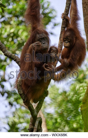 Borneo Orangutan (Pongo pygmaeus pygmaeus) Female with a young and an older young, in a tree, Tanjung Puting National Park, Indonesia - Stock Photo