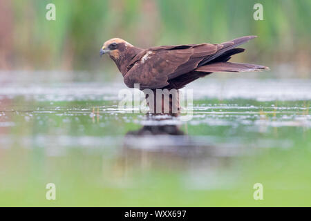 Marsh Harrier (Circus aerurignosus), side view of an adult female stading in a marsh, Campania, Italy - Stock Photo