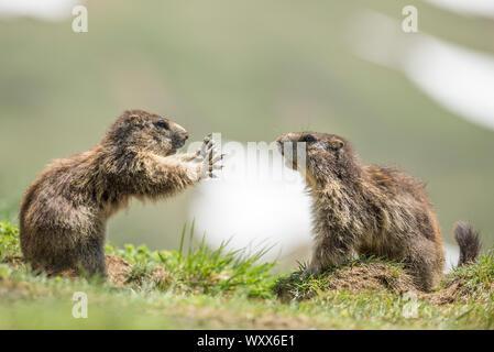 Alpine marmot ( Marmota marmota), two subadult playing, National Park Hohe Tauern, Austria - Stock Photo