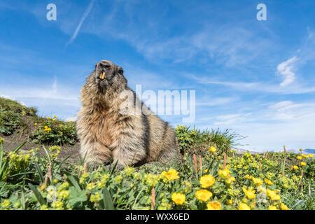 Alpine marmot ( Marmota marmota), National Park Hohe Tauern, Austria - Stock Photo