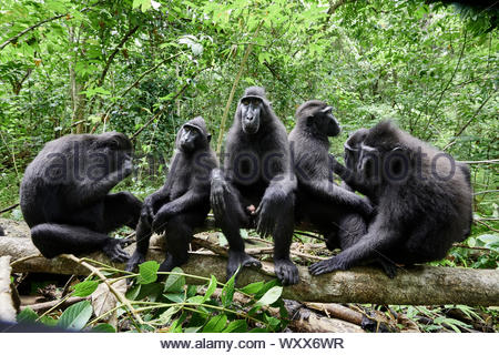 Celebes crested macaque (Macaca nigra), groupe of macaques nearby,Tangkoko National Park, Sulawesi, Indonesia - Stock Photo