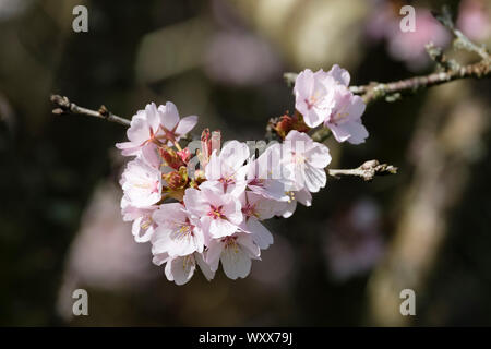 Close-up of pink blossom of Prunus Sargentii, Sargent's cherry or North Japanese hill cherry in early spring