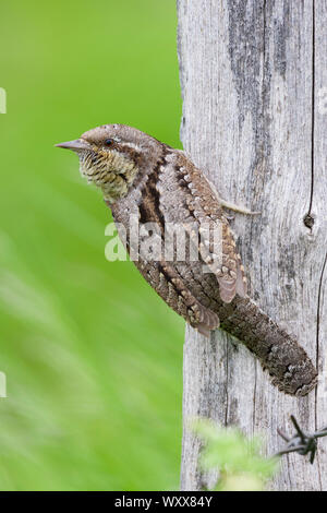 Eurasian Wryneck (Jynx torquilla), adult perched on an old post, Campania, Italy - Stock Photo