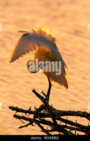 Little egret (Egretta garzetta) preening in backlit in Kruger National park, South Africa - Stock Photo