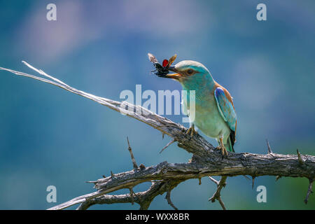 European Roller (Coracias garrulus) eating insect in Kruger National park, South Africa - Stock Photo