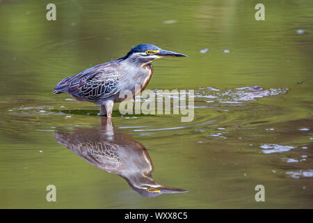 Green backed heron (Butorides striata) wadding with reflection in Kruger National park, South Africa - Stock Photo