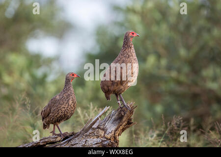 Couple of Swainson's Spurfowl (Pternistis swainsonii) perched on log in Kruger National park, South Africa - Stock Photo