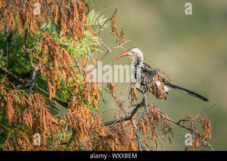 Southern Red billed Hornbill (Tockus rufirostris) isolated in natural background in Kruger National park, South Africa - Stock Photo