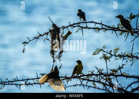 Small group of Spectacled Weaver (Ploceus ocularis) building nest in Kruger National park, South Africa - Stock Photo