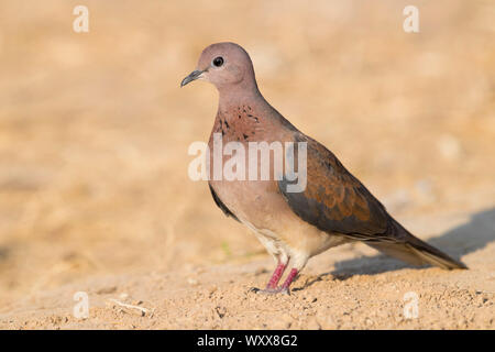 Laughing Dove (Streptopelia senegalensis), adult standing on the ground, Dhofar, Oman - Stock Photo