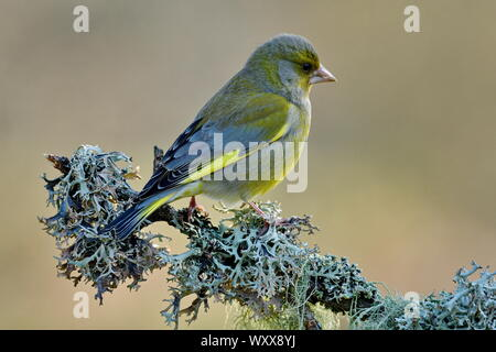 Greenfinch (Carduelis chloris) on a branch, France - Stock Photo