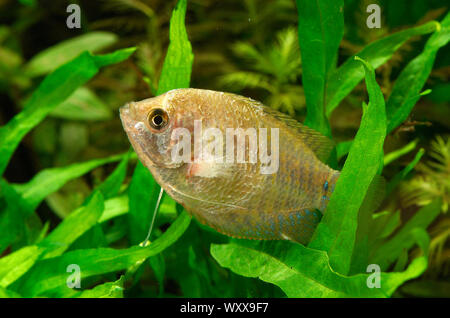 Diseased Dwarf Gourami (Trichogaster lalius) - Stock Photo