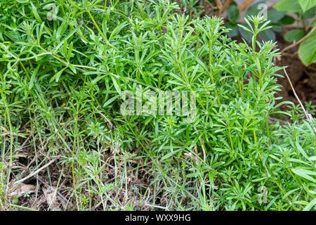 Cleaver (Galium aparine) in a garden in summer, Pas de Calais, France - Stock Photo