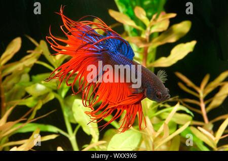 Siamese fighting fish (Betta splendens) male 'Crowntail' - Stock Photo
