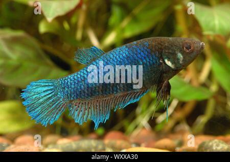 Siamese fighting fish (Betta splendens) female injured by the male - Stock Photo