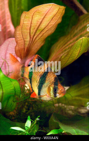 Tiger barb or Sumatra barb (Puntigrus anchisporus ; ex. Barbus tetrazona) in aquarium - Stock Photo