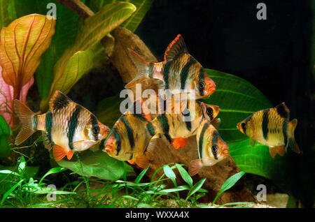 Tiger barbs or Sumatra barbs (Puntigrus anchisporus ; ex. Barbus tetrazona) in aquarium - Stock Photo