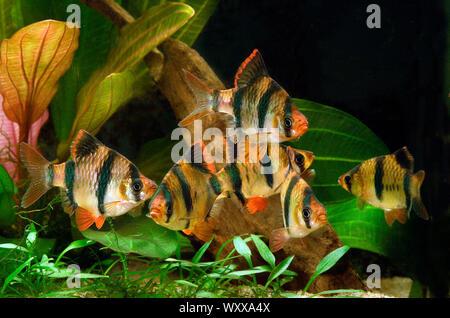 Tiger barbs or Sumatra barbs (Puntigrus anchisporus ; ex. Barbus tetrazona) in aquarium - Stock Photo