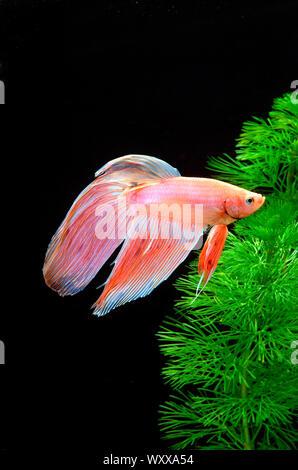 Siamese fighting fish (Betta splendens) male - Stock Photo