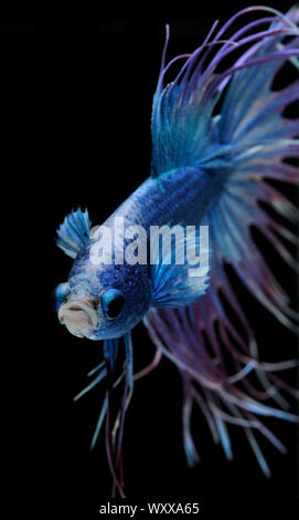 Siamese fighting fish (Betta splendens) male 'Crowntail Dragon' - Stock Photo