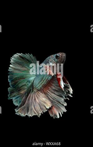 Siamese fighting fish (Betta splendens) 'Copper Metallic' male - Stock Photo