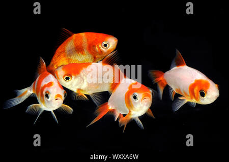 Wakin Goldfishes (Carassius auratus) - Stock Photo