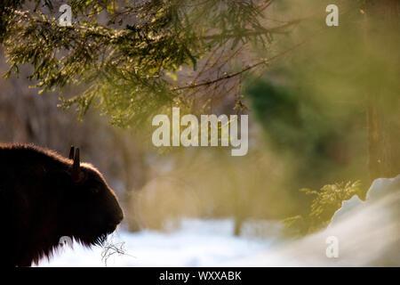 European Bison (Bison bonasus) in cold morning, Romania - Stock Photo