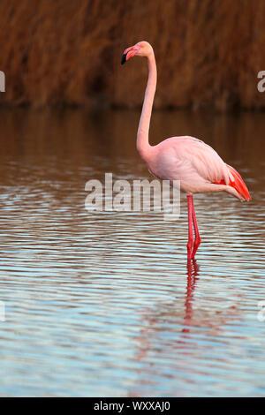 Great Flamingo (Phoenicopterus ruber) walking in the water near Sansouire, Albufera, Spain - Stock Photo