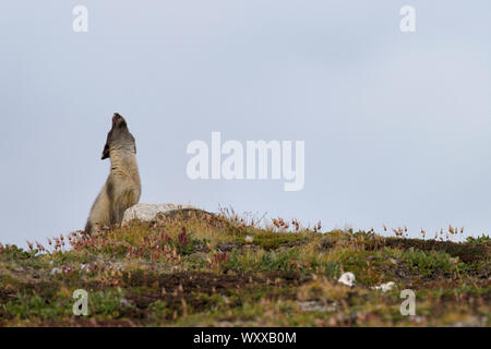 Arctic fox (Alopexlagopus) female calling his young. Jameson Land, Greenland, Northeast - Stock Photo