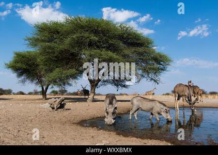 Remote camera image of greater kudus (Tragelaphus strepsiceros) and warthogs (Phacochoerus africanus) at a waterhole, Kalahari, Botswana - Stock Photo