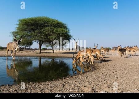Remote camera image of greater kudus (Tragelaphus strepsiceros) and Impalas (Aepyceros melampus) at waterhole, Kalahari, Botswana - Stock Photo