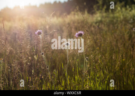 Wiese im Abendlicht - Stock Photo
