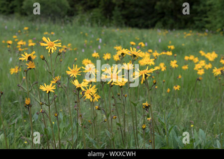 Echte Arnika, Arnica montana, mountain arnica - Stock Photo