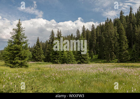 Knoeterich, Persicaria, knotweeds - Stock Photo
