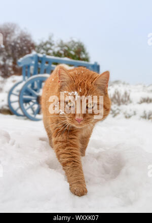 A ginger red tabby cat walking in a snow covered garden on a cold winter day and looking curious, frontal view - Stock Photo