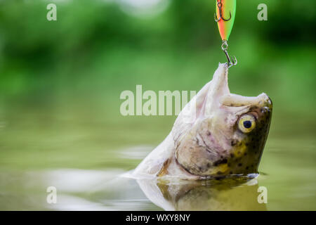 successful catch. hobby sport activity. fly fishing trout. recreation and leisure. fishing on lake. Good catch. fish on hook. stalemate and hopelessness. trout bait. catch fish. fall into the trap. - Stock Photo