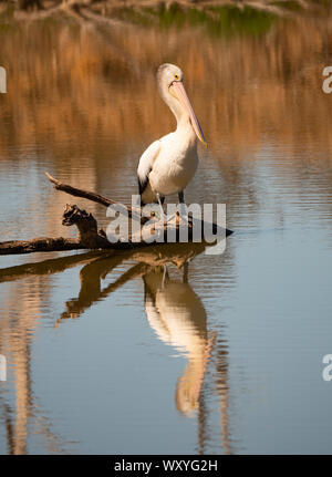 An Australian Pelican, Pelecanus conspicillatus, standing on a tree trunk in a lake at Mudgee New South Wales, Australia with reflection in the water. - Stock Photo