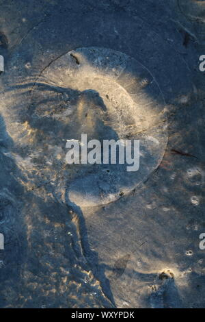 fossils embedded in stone on beach, Lyme Regis - Stock Photo