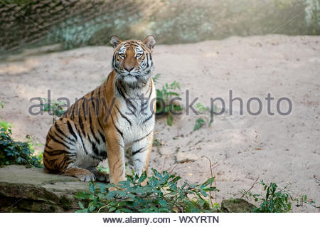Beautiful tiger sitting on rock with blurry background - Stock Photo